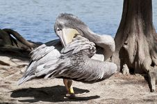 Free A Pelican Stock Photo - 28023000
