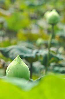 Free Water Lily Bud On Pond Stock Image - 28025101