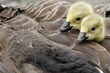 Free Welwyn Garden, England: Young Cygnets Royalty Free Stock Image - 28028186