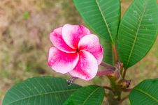 Free Red Frangipani Royalty Free Stock Images - 28030799