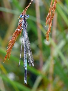 Free White-legged Damselfly Stock Image - 28035791