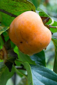 Organic Persimmons In Thailand Royalty Free Stock Photos