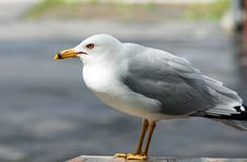 Lone Seagull Outside Picnic Table Stock Photography