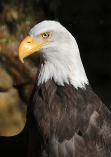 Free Eagle Stock Photography - 28044672