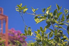 Free Tangerine Tree Royalty Free Stock Images - 28045959