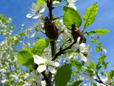 Chafers Climbing On Blossoming Plum Stock Images