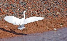 Egret Landing Stock Photos