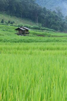 Free Green Rice Paddy Terrace And A Small Hut Royalty Free Stock Images - 28052869