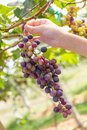 Free Hand Holding Red Grape Royalty Free Stock Photo - 28065525