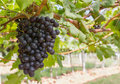 Free Red Grapes On The Vine Stock Photo - 28066140