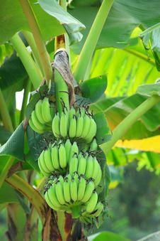 Free Banana Plant Royalty Free Stock Photos - 28064908
