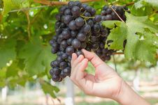 Free Hand Holding Red Grape Royalty Free Stock Image - 28065676