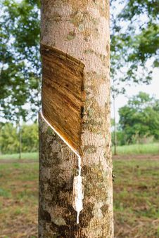 Free Tapping Latex From Rubber Tree Stock Image - 28066361