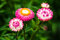 Free Straw Flower &x28;Everlasting&x29; Royalty Free Stock Images - 28061189