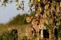 Free Cheetah Mother With Cubs, Masai Mara Royalty Free Stock Photography - 28077037