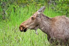 Free Alaska Moose Cow Portrait Stock Photography - 28071322