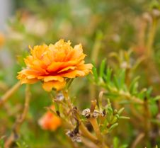 Free Details Of Flowers Portulaca Grandiflora Royalty Free Stock Photography - 28075167