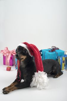 Free Dog As A Gift On New Year And Christmas Stock Photo - 28076170