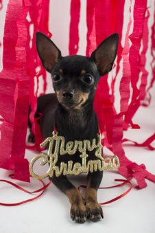 Free Dog As A Gift On New Year And Christmas Royalty Free Stock Photos - 28076348