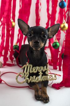 Free Dog As A Gift On New Year And Christmas Stock Image - 28076711
