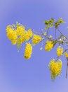 Free Golden Shower, Thai National Flower, Against Blue Sky Background Stock Photo - 28083940