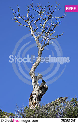 Free Dead Pine Tree On A Cliff. Stock Image - 28081251