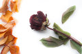 Free Rose And Autumn Leaves Stock Images - 28091484