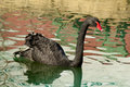 Free Water Reflections Surround A Black Swan. Stock Image - 28093741