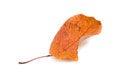 Free Autumn Leaf Isolated White Stock Photos - 28095133