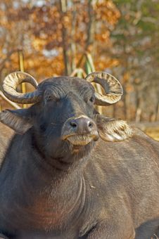 Free A Water Buffalo Relaxes In The Sun. Stock Photo - 28093290