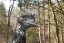 Free A Curious Australian Emu Is Looking For Food. Royalty Free Stock Photography - 28093357
