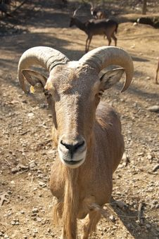 Free A Bighorn Sheep Ram Is Making Eye Contact. Royalty Free Stock Images - 28094429