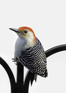 Free Red-Bellied Woodpecker Stock Photos - 28095153