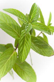 Free Fresh Leaves Mint Royalty Free Stock Photo - 28095265