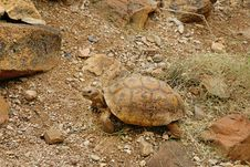 Free Desert Tortoise In The Sand Walking, Slow-moving Land-dwelling R Stock Photos - 28096883