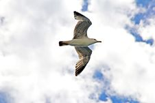 Free Gull Flying Royalty Free Stock Images - 28097359