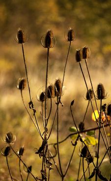 Autumn Thistles Against Fall Field Royalty Free Stock Photo
