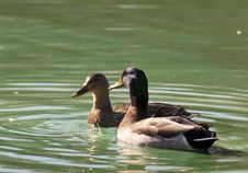 Free Male And Female Mallard Ducks Swimming. Stock Image - 28097441
