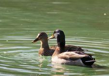 Male And Female Mallard Ducks Swimming. Stock Image