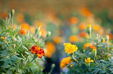 Free Red And Yellow Marigold Stock Photos - 28098033