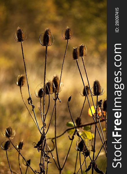 Autumn Thistles Against Fall Field