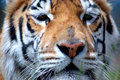 Free Indian Tiger Portrait Stock Photos - 2810743