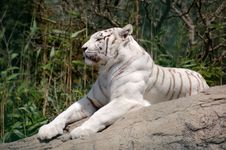 Free White Tiger Royalty Free Stock Image - 2810136