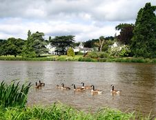 Free Geese On The River Royalty Free Stock Photo - 2812085