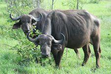 Free Grazing Buffalo Royalty Free Stock Photography - 2813027