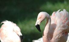 Free Flamingo Pair Royalty Free Stock Photo - 2813705