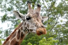 Free Giraffe Close Up Royalty Free Stock Photo - 2815265