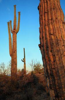 Free Saguaro Glow Royalty Free Stock Image - 2815686