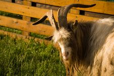Free Goat Looking Over His Shoulder Stock Images - 2816104
