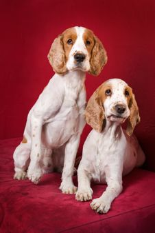 Free Curious Cocker Spaniels. Royalty Free Stock Image - 2816786